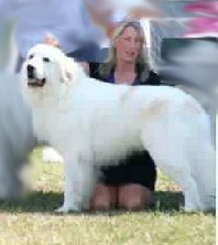 Great Pyrenees Brodie