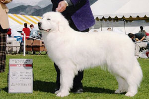 Great Pyrenees MIa